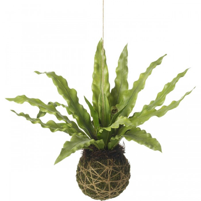 Asplenium Hanging Ball Green (6pk)