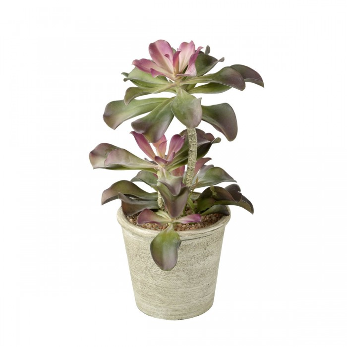 Echeveria Potted Green & Pink (2pk)