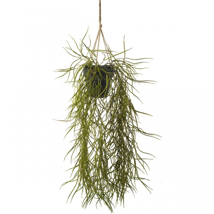 Hoya Hanging Green (2pk)